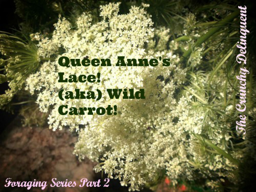 Foraging Series Part 2 Queen Anne S Lace The Crunchy Delinquent